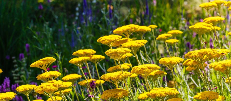 , 6 BEAUTIFUL AND DEER RESISTANT PERENNIALS, Redwood Nursery & Garden Center