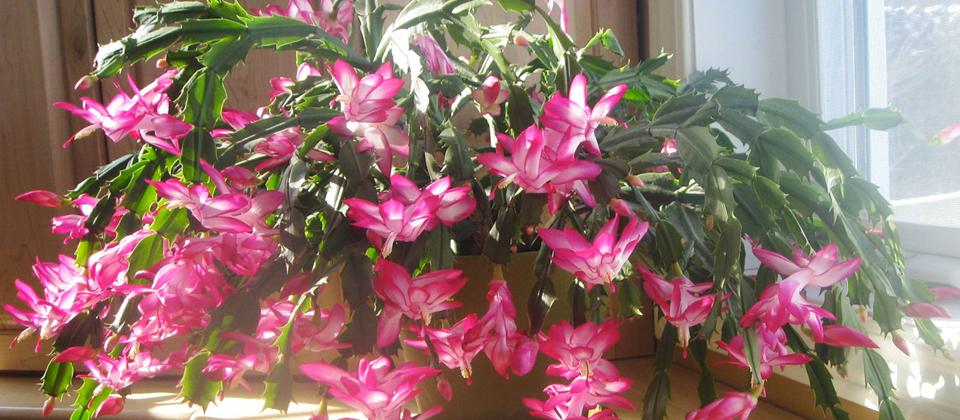 , Caring For Christmas Cactus, Redwood Nursery & Garden Center