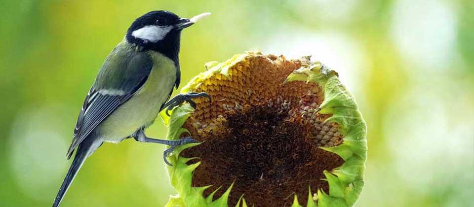 ", Most Birds Say ""We Love Sunflower Seeds"", Redwood Nursery & Garden Center"