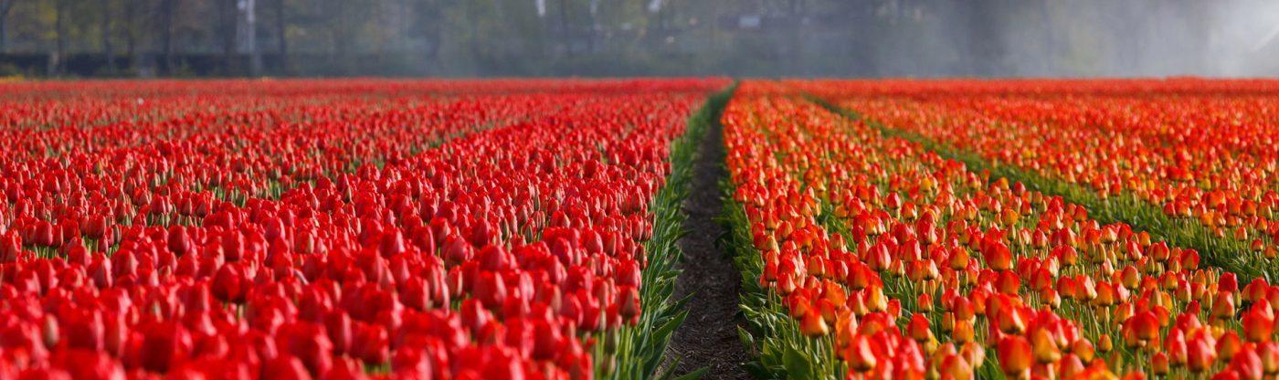 , Got Spring Fever? Visit the flower gardens at Keukenhof in Holland!, Redwood Nursery & Garden Center