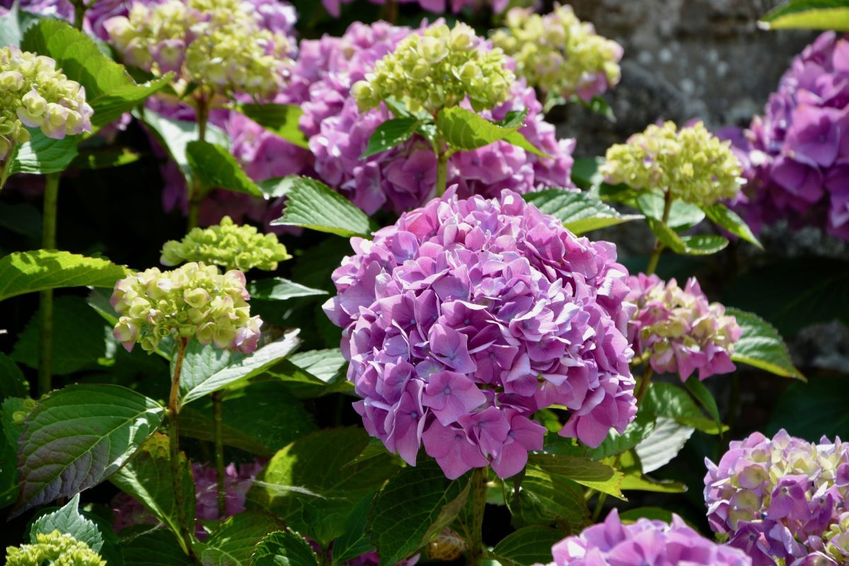 , Rediscovering a Classic – A Variety of Hydrangeas, Redwood Nursery & Garden Center