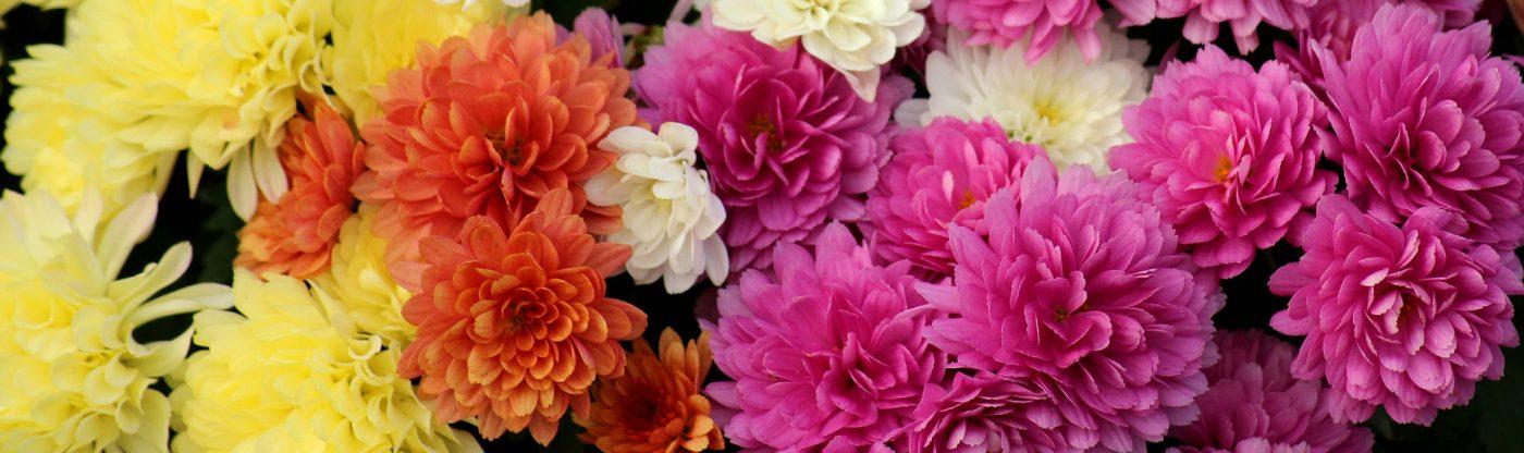 , Mum Basics, Redwood Nursery & Garden Center