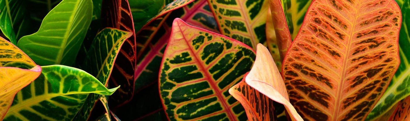, Houseplant of the Month – Croton, Redwood Nursery & Garden Center