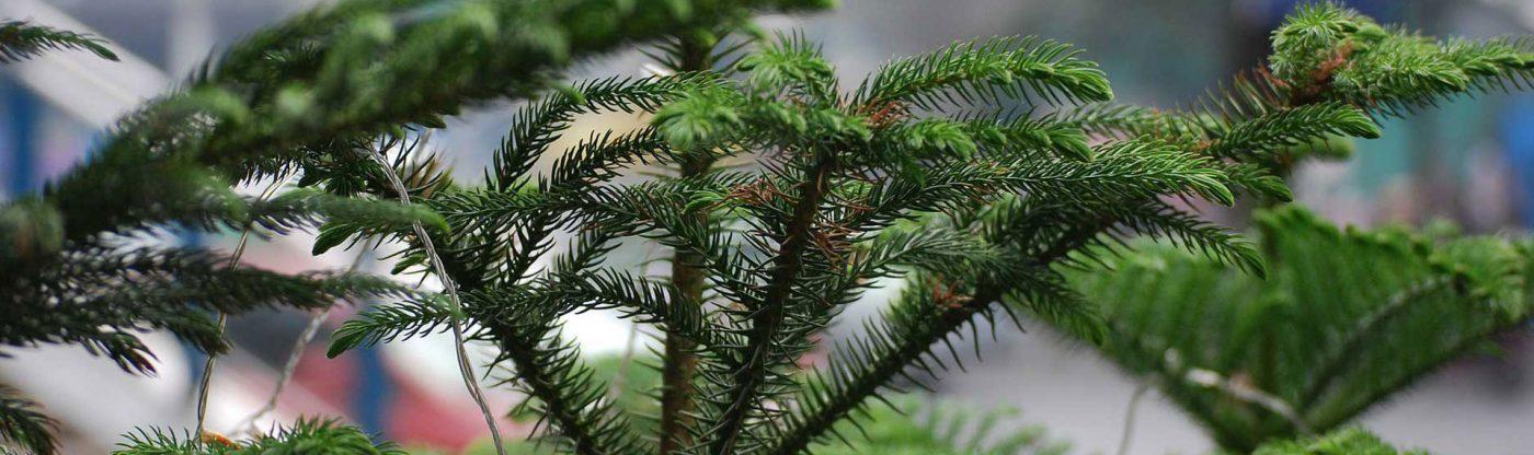 , Houseplant of the Month: Norfolk Island Pine, Redwood Nursery & Garden Center