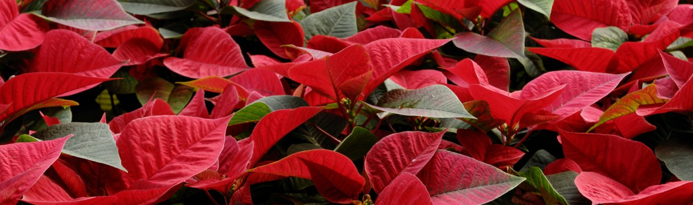 , Poinsettia Plant Care Tips, Redwood Nursery & Garden Center