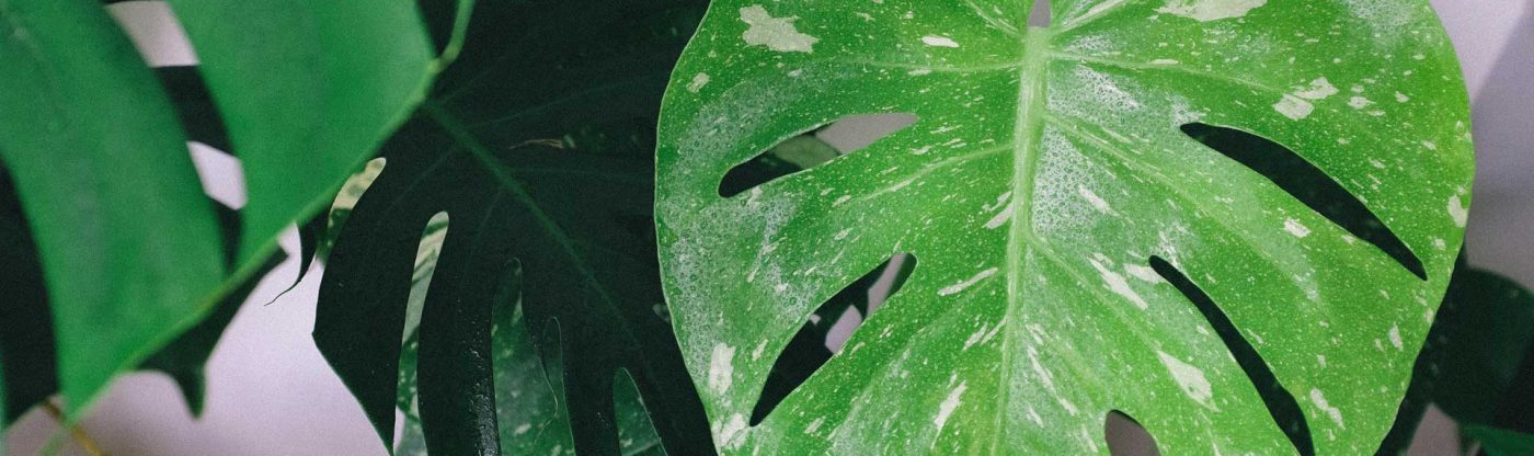 , Houseplant of the Month: Monstera Deliciosa, Redwood Nursery & Garden Center