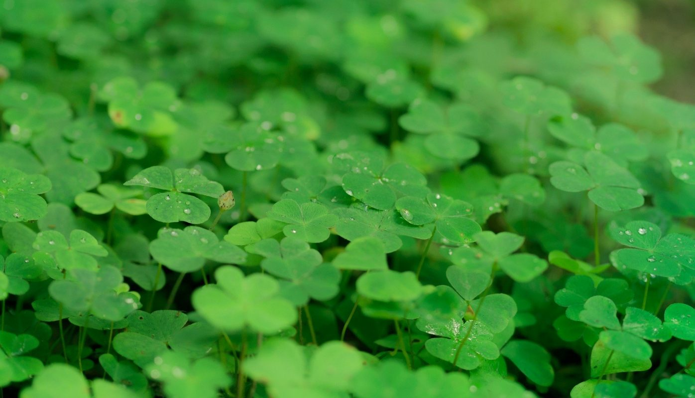 , Houseplant of the Month: Shamrock, Redwood Nursery & Garden Center