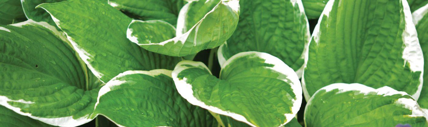 , Perennial of the Month: Hosta, Redwood Nursery & Garden Center