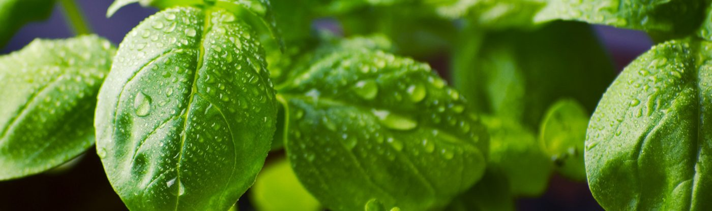 , How to Prune Basil Plants, Redwood Nursery & Garden Center
