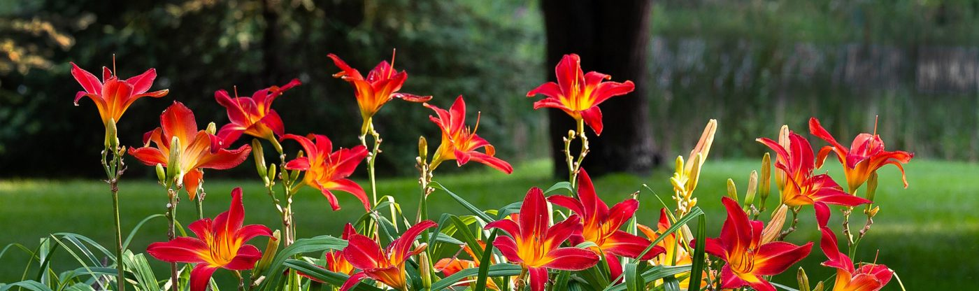 , Perennial of the Month: Daylily, Redwood Nursery & Garden Center
