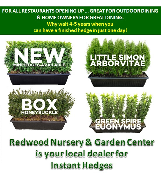 , Instant Privacy Planters, Redwood Nursery & Garden Center