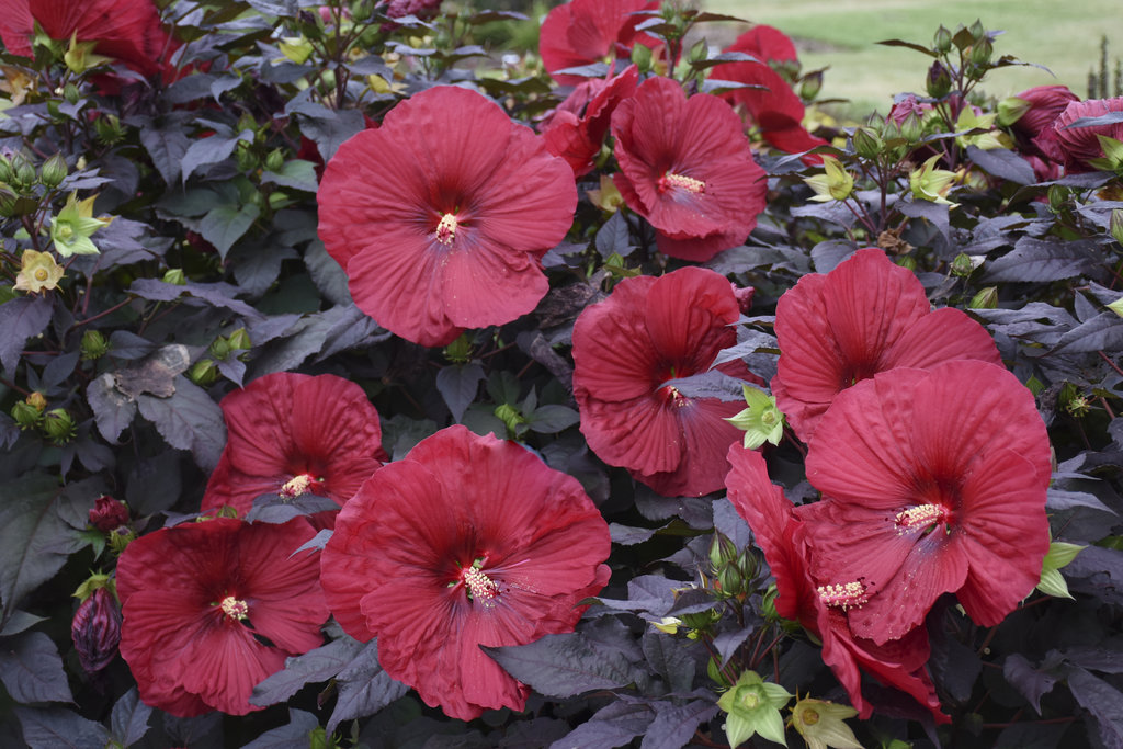 , Perennial of the Month: Hardy Hibiscus, Redwood Nursery & Garden Center