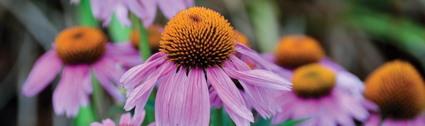 , Perennial of the Month: Coneflower, Redwood Nursery & Garden Center