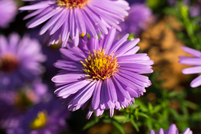 , Perennial of the Month: Aster, Redwood Nursery & Garden Center
