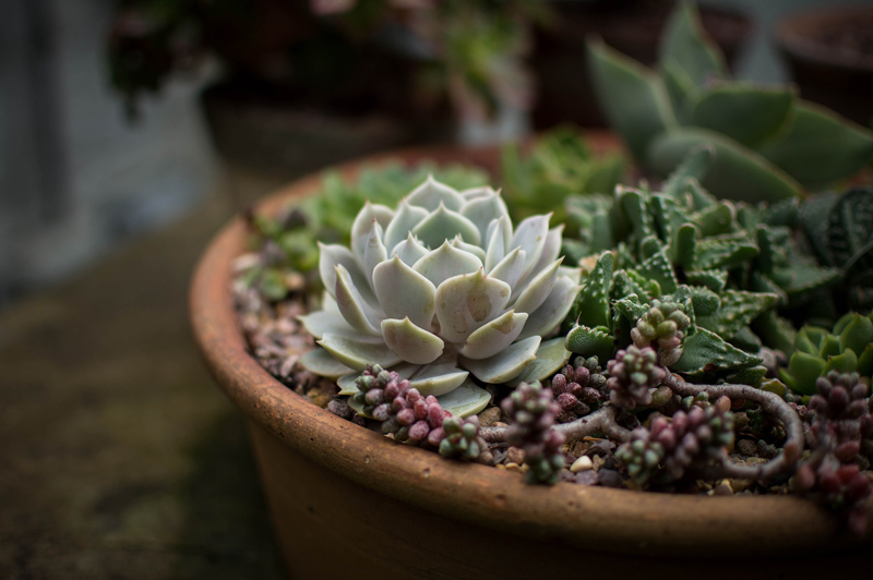 , Fall Succulent Planter, Redwood Nursery & Garden Center
