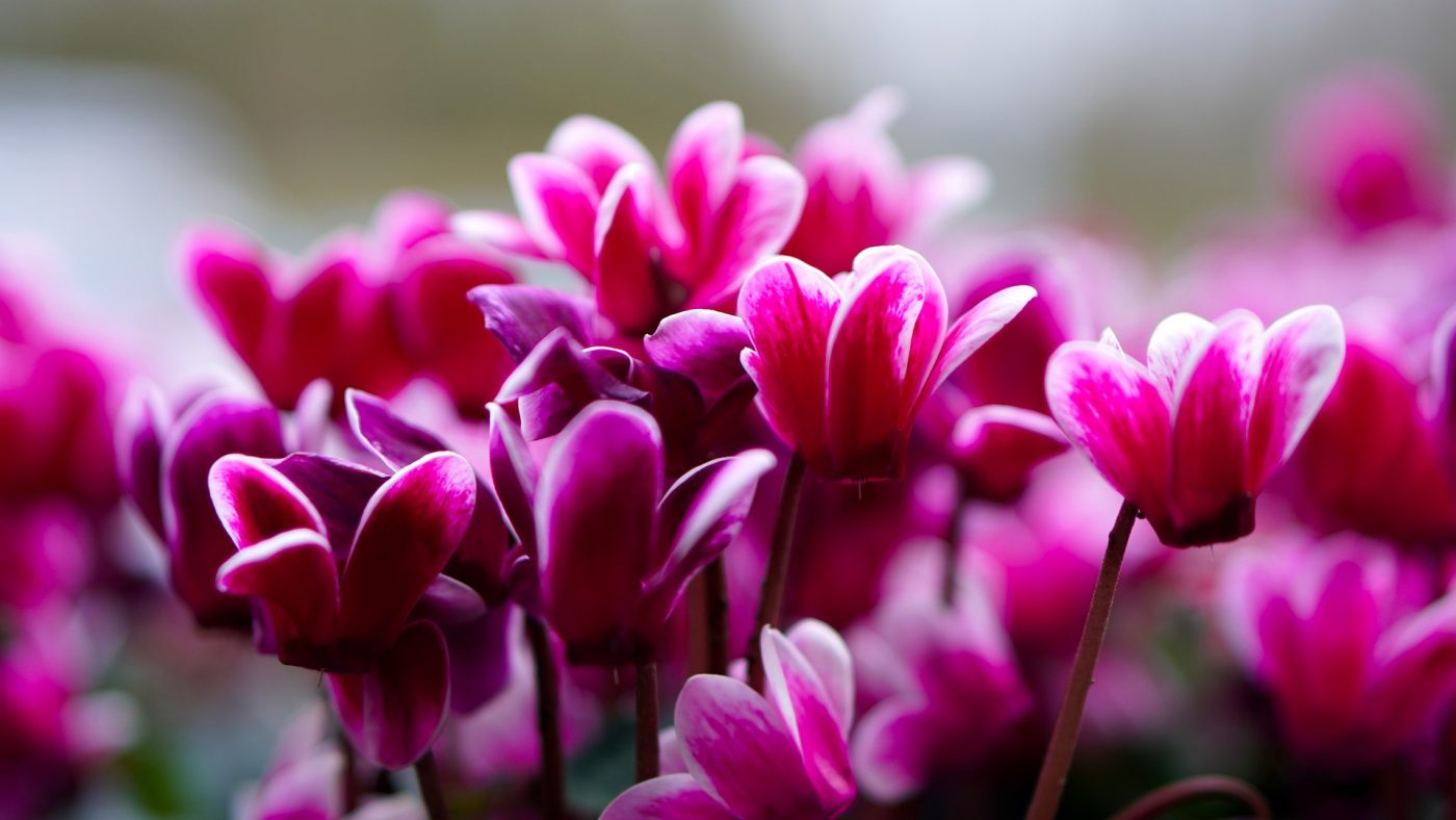 , Houseplant of the Month: Cyclamen, Redwood Nursery & Garden Center