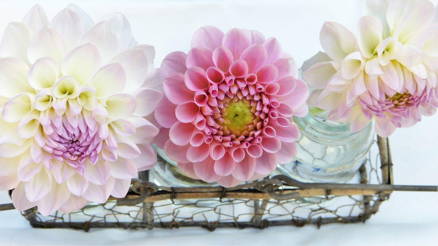 , Storing Your Dahlias, Redwood Nursery & Garden Center