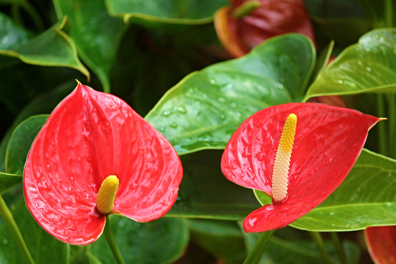 , Houseplant of the Month: Anthuriums, Redwood Nursery & Garden Center