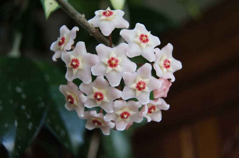 , Houseplant of the Month: Hoya, Redwood Nursery & Garden Center