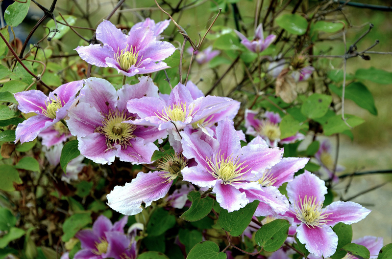 , Pruning Clematis & Garden Cleanup, Redwood Nursery & Garden Center