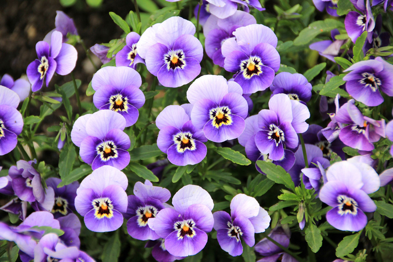 , It's Time To Plant Pansies!, Redwood Nursery & Garden Center