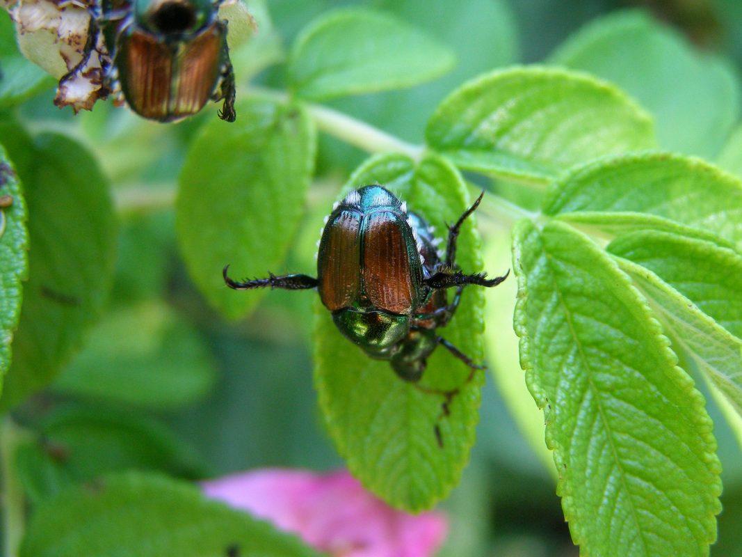 , Getting Rid of Japanese Beetles, Redwood Nursery & Garden Center