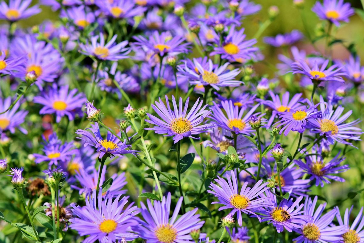 , Perennial of the Month – Fall Asters, Redwood Nursery & Garden Center