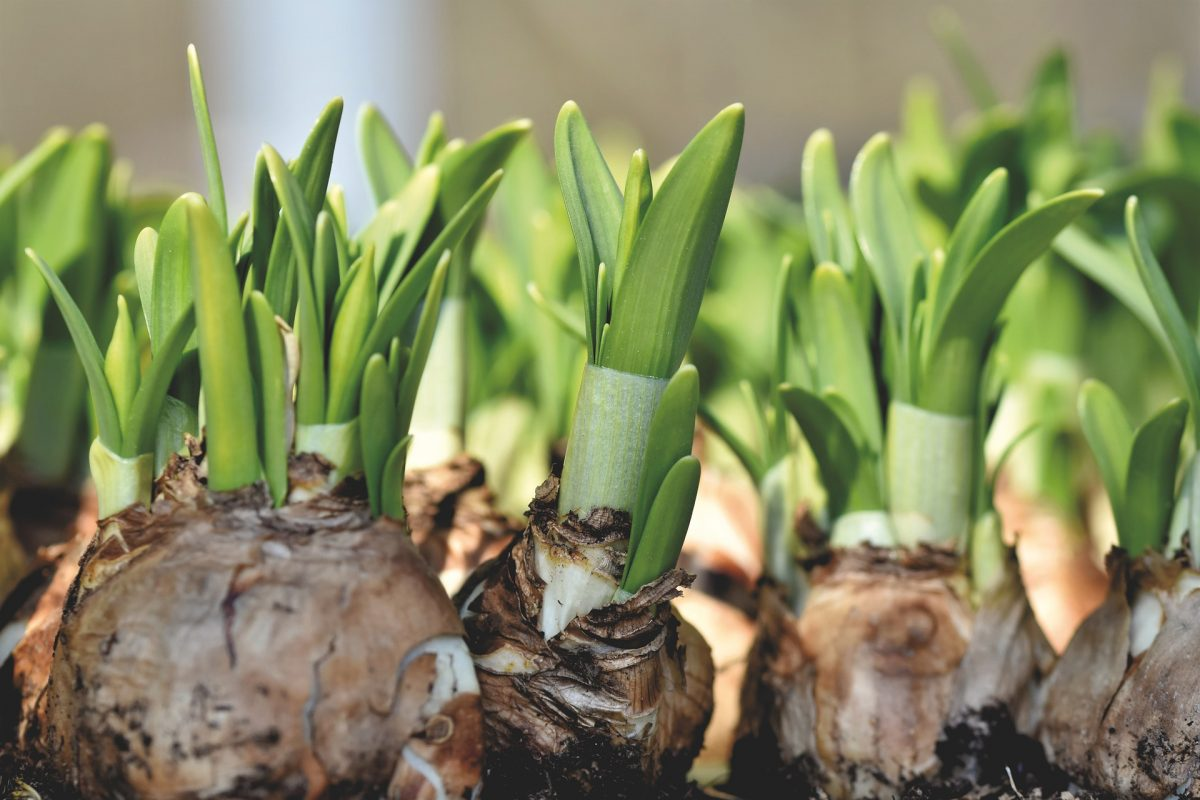 , Select and plant spring-flowering bulbs now, Redwood Nursery & Garden Center
