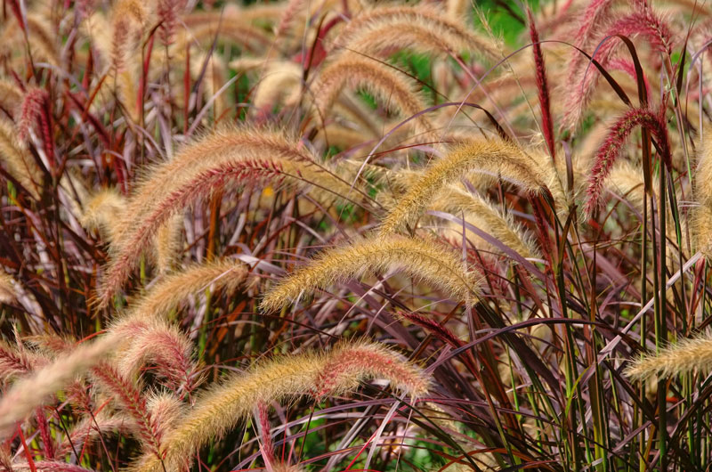 , Plant of the Month: Red Fountain Grass, Redwood Nursery & Garden Center